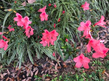 Dark pink azaleas against a clump of variegated grasses, By Andrea LeDew.