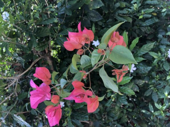 A sprig of bougainvillea forcing its way through a bushy pinwwheel jasmine.  Copyright Andrea LeDew.