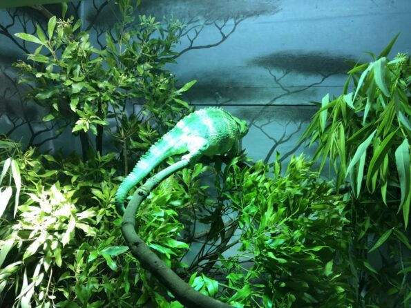 Chameleon at Jacksonville Zoo, Jacksonville FL