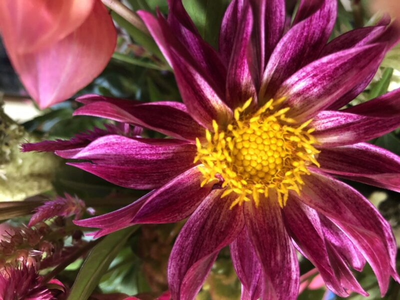 Pink dahlia flower with yellow center. Flowers are one of many things used as symbols. Copyright Andrea LeDew.