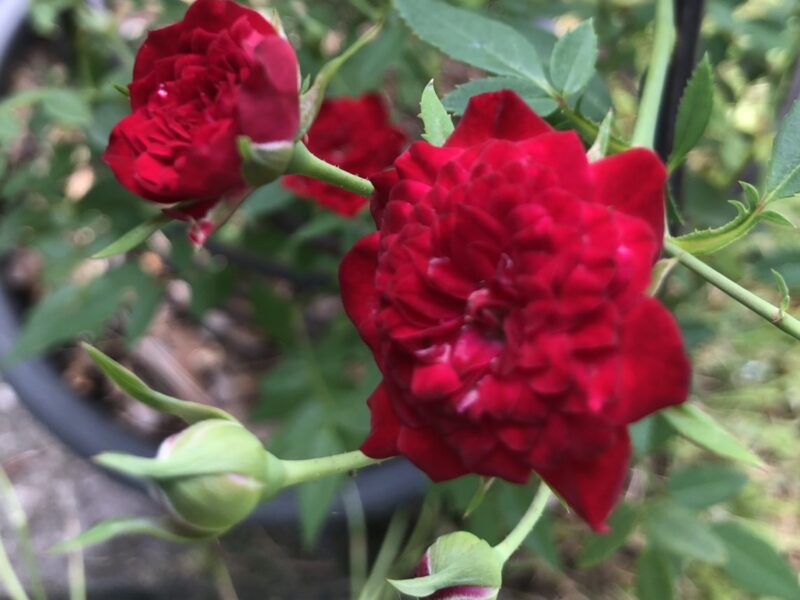 Two red blooms on a miniature rosebush.   Copyright Andrea LeDew