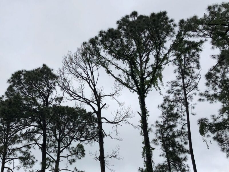 Southern Pines in a row, one without any needles. Copyright Andrea LeDew