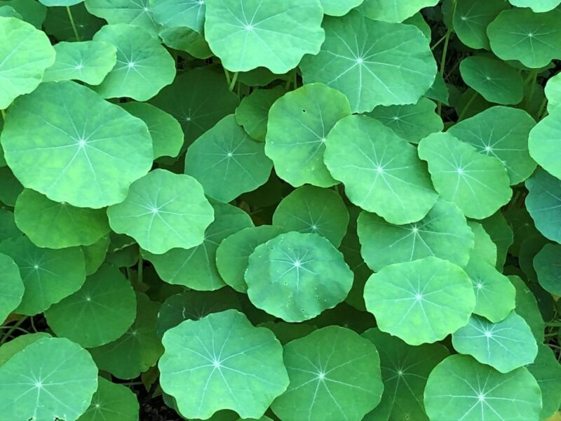 Nasturtium leaves covering the garden bed in layers. Copyright Andrea LeDew