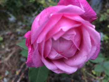 A partially opened pink multi-petaled rose after a rain. Copyright Andrea LeDew.
