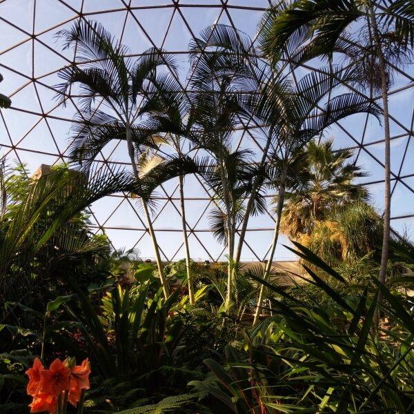 View upwards to the glass roof of a glass greenhouse, in the palm room, with tall palms opening their fronds against the sky and red amaryllis on the ground in the foreground. PHOTO PROMPT © J Hardy Carroll