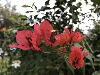A spray of coral colored bougainvillea against green foliage. Copyright Andrea LeDew.