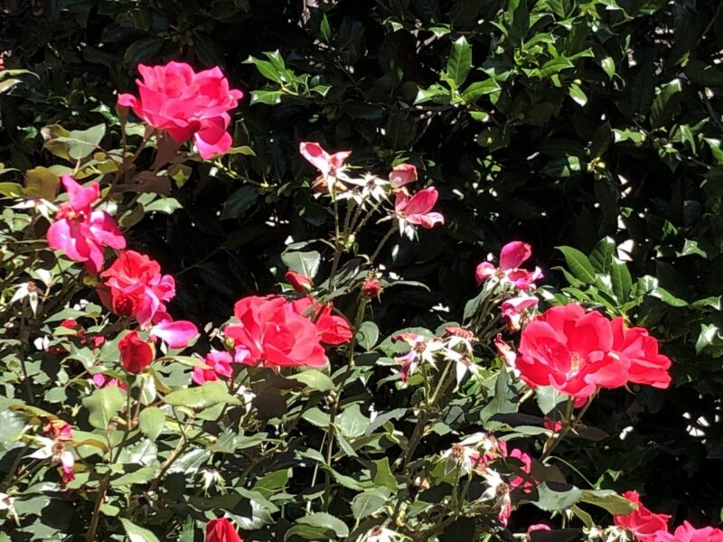 A rose bush with hot pink roses in the sunshine. Copyright Andrea LeDew.
