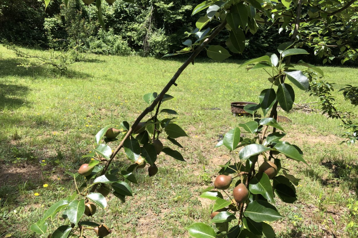 Crabapples ripening on stems. Copyright Andrea LeDew.