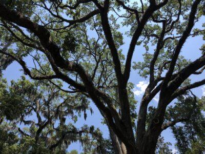 The canopy of an ancient live oak against a blue sky. Copyright 2020 Andrea LeDew.