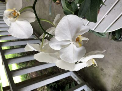 A white orchid on a porch. Copyright Andrea LeDew.