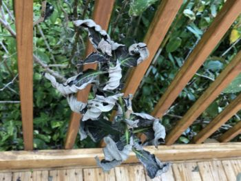 A withered plant trying to break through the spindles of a small deck railing. Copyright 2020 Andrea LeDew.