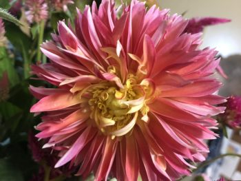 Dahlia in pink fading to yellow. Copyright Andrea LeDew.