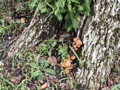 The base of a mature live oak tree, with mushrooms growing between the roots. Copyright Andrea LeDew.