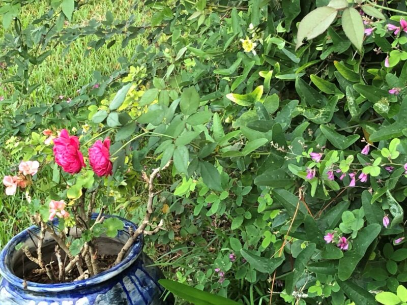 A bush overrun with passionflower vines from which two roses are poking through, over a blue pot. Copyright Andrea LeDew.