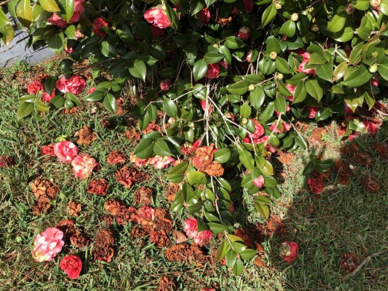 Reddish-pink bloomed Camellia bush with spent blossoms in various states of decay at its feet. Copyright Andrea LeDew