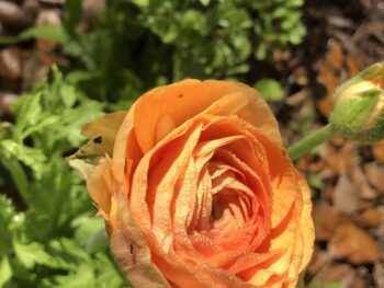 Orange ranunculus bloom in a garden, with a tiny ant crawling on it. Copyright Andrea LeDew.