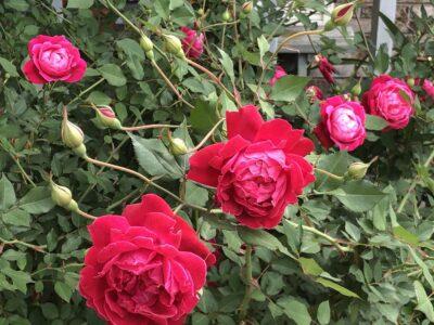 Roses in full bloom on a large bush. Copyright Andrea LeDew.