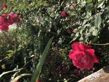 Rose bush full of blooms. Copyright Andrea LeDew.