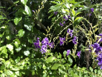 Small purple flowers cascading modestly against a background of robust foliage. Copyright Andrea LeDew