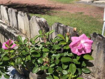 A rose growing on a fence. Copyright Andrea LeDew.