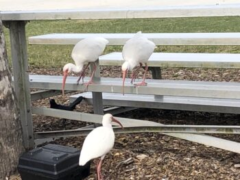 Three small white egrets and a black crow peck eagerly at various scraps on a silver stand where people like to eat their lunches. Copyright Andrea LeDew.