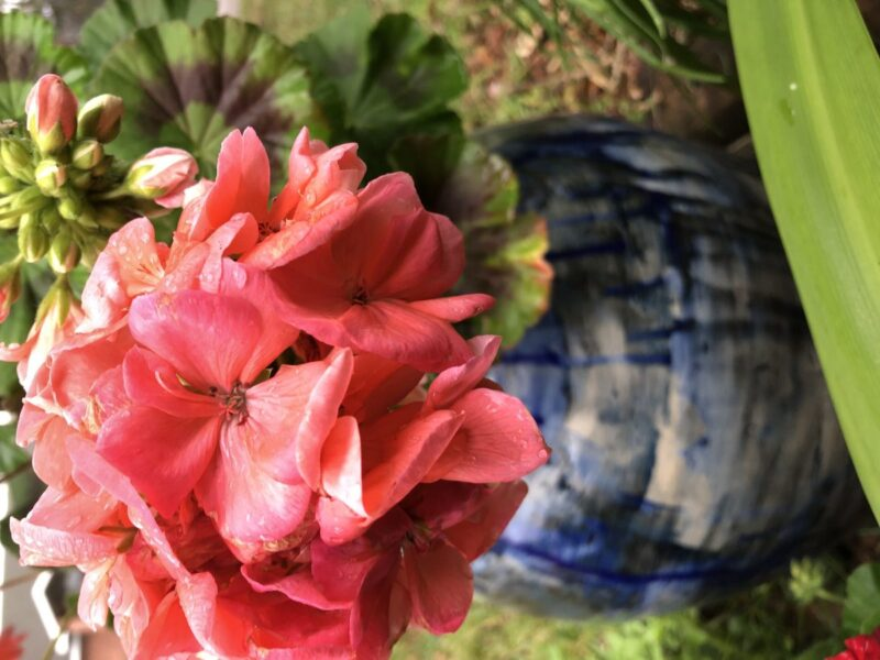 A pink geranium flower in the close foreground, covered with water droplets, before a blurry blue flower pot. Copyright Andrea LeDew.