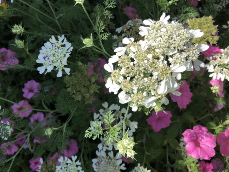 White bloom, something like Queen Anne's Lace, among pink petunias. By Andrea LeDew.