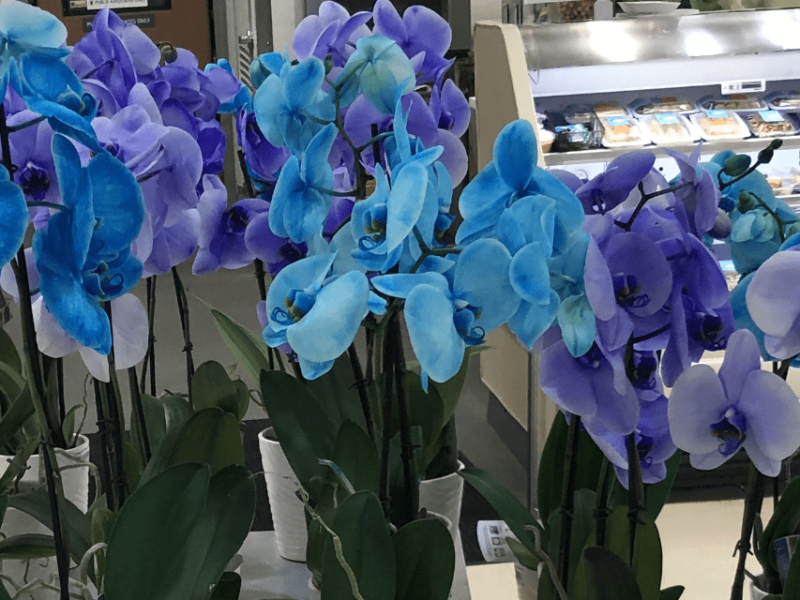 A hoard of phalaenopsis orchids in rather unnatural colors, in a grocery store. Copyright Andrea LeDew.