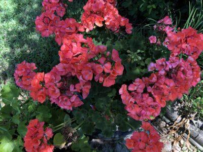 Geraniums putting forth their last hurrah. Copyright Andrea LeDew.
