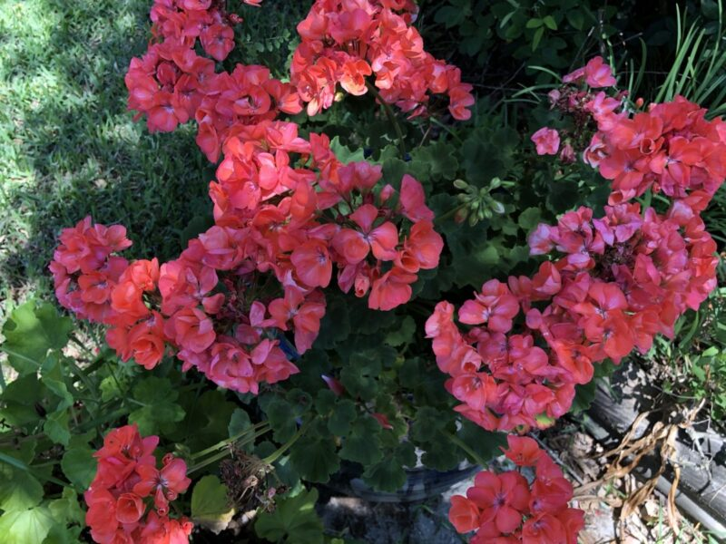 Geraniums putting forth their last hurrah before the summer heat wave. Copyright Andrea LeDew.