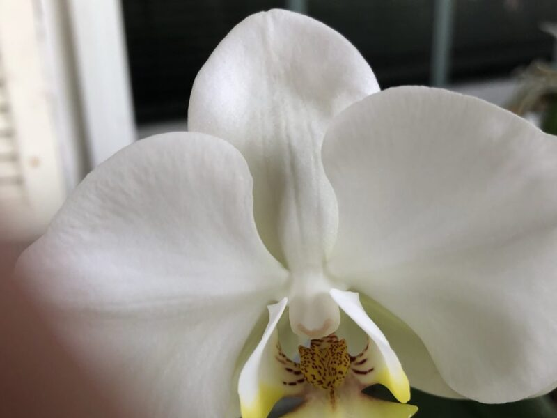 A white orchid bloom with a center that looks suspiciously like an insect. Copyright Andrea LeDew.