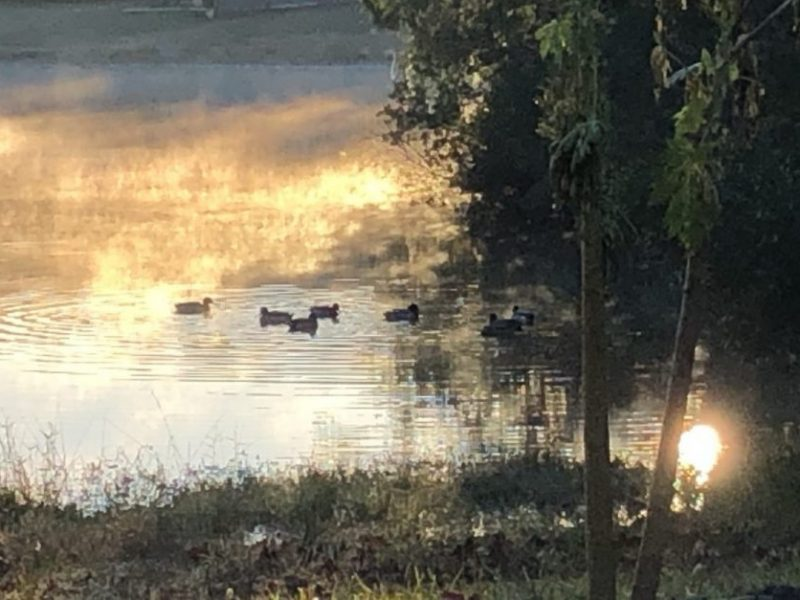 Ducks on a lake on a cold winter morning, with mist rising off the water. Copyright Andrea LeDew.