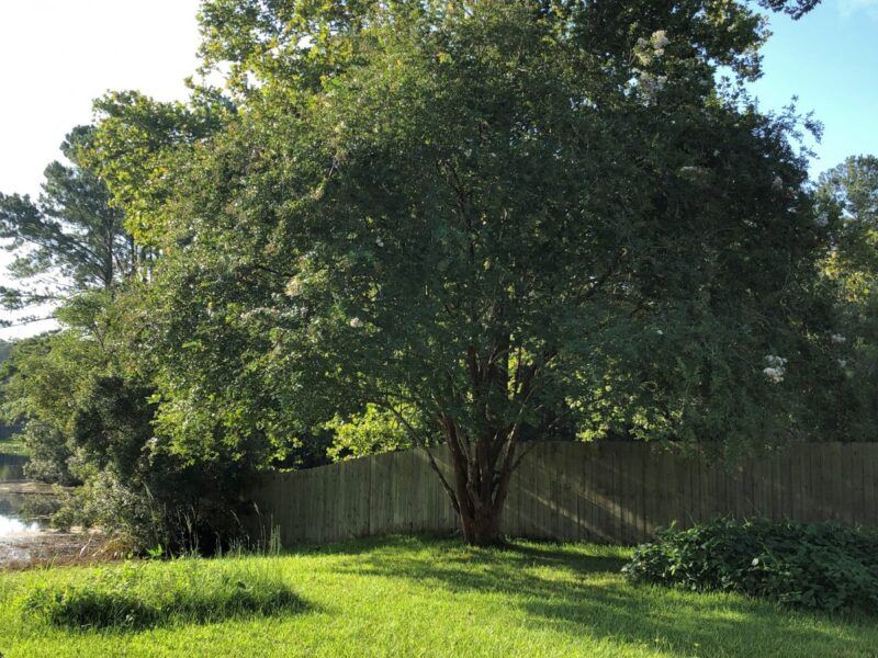 Crepe myrtle tree with the last of its blooms at the end of summer. Copyright Andrea LeDew.