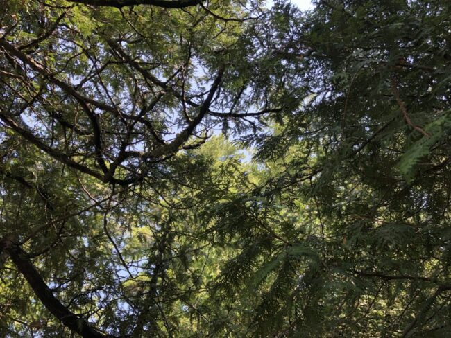 Treetops overhead in an old forest. Copyright Andrea LeDew.