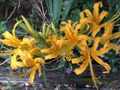 Hurricane lilies, a variety of golden spider lily, blooming over a landscape timber. Copyright Andrea LeDew.
